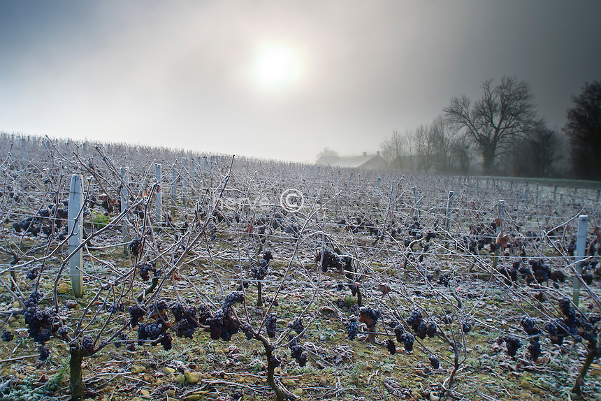 France, Cher (18), le Berry, Morogues, vignoble A.O.C. Menetou-Salon en hiver // France, Cher, Berry region, Morogues, vineyard A.O.C. Menetou Salon in winter