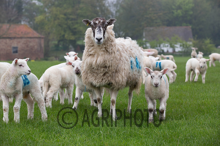 Ewes and lambs on grass<br /> Picture Tim Scrivener 07850 303986