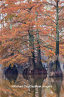 63895-15719 Cypress trees in fall color Horseshoe Lake State State Fish & Wildlife Area Alexander Co. IL