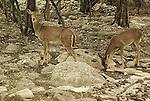 Alert White Tail Deer in Kerrville Texas
