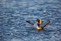 Pacific loon spreads wings in small pond in the Arctic North Slope, Alaska.