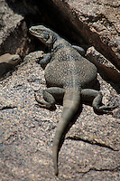 414050005 a wild chuckwalla sauromalus obesus basks on a volcanic rock near eureka dunes california