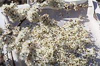 Schlehenblüten zupfen und trocknen zu Heilzwecken, Kräuterernte, Gewöhnliche Schlehe, Schwarzdorn, Blüte, Blüten, Schlehenblüte, Prunus spinosa, Blackthorn, Sloe, Epine noire, Prunellier