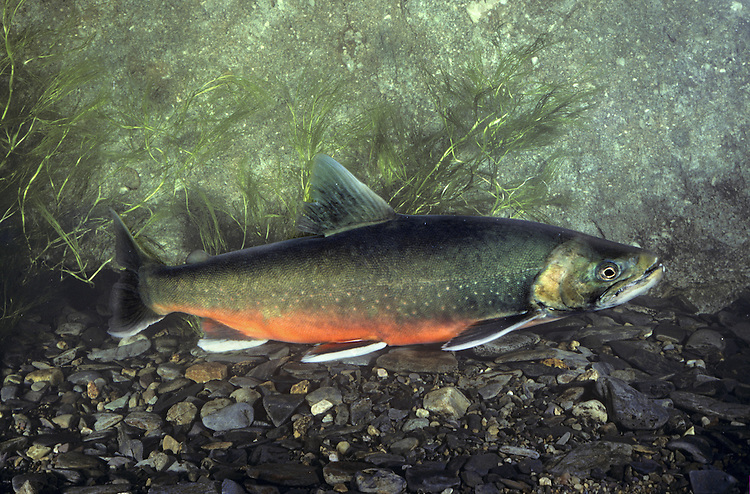 Arctic Charr Salvelinus alpinus Length 50-70cm<br /> This is an attractive member of the salmon family that, outside its limited British range, is restricted to northern and Arctic regions. It is a relict species from the last post-glacial era, now mostly confined to land-locked and isolated populations in deep lakes in upland districts in N Wales, the Lake District, Scotland and Ireland; Welsh fish are called Torgoch. Adult male Arctic Charr have greenish grey upperparts and a bright red belly; female fish have subdued colours.