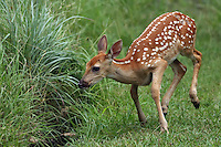 Whitetail Fawn as it gathers itself for the jump..