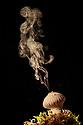 Common Puffball fungus (Lycoperdon perlatum) emitting spores into the air. Derbyshire, UK. September.