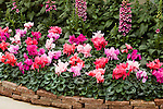 DISPLAY OF 'SIERRA SYNCHRO' CYCLAMEN MIX BY GOLDSMITH SEEDS