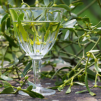 Misteltee, Mistel-Tee, Mistel, Tee, Kräutertee, Heiltee, Kaltansatz, Laubholz-Mistel, Weißbeerige Mistel, Viscum album, Mistletoe, European mistletoe, common mistletoe, mistle, tea, herbal tea, herb tea, Le gui, gui blanc, gui des feuillus