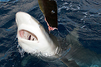 Galapagos shark, Carcharhinus galapagensis, lunging for bait, note gills through open mouth, North Shore, Oahu, Hawaii, Pacific Ocean