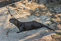 North American river otter (Lontra canadensis) on shore<br /> Near Bloodvein<br /> Manitoba<br /> Canada