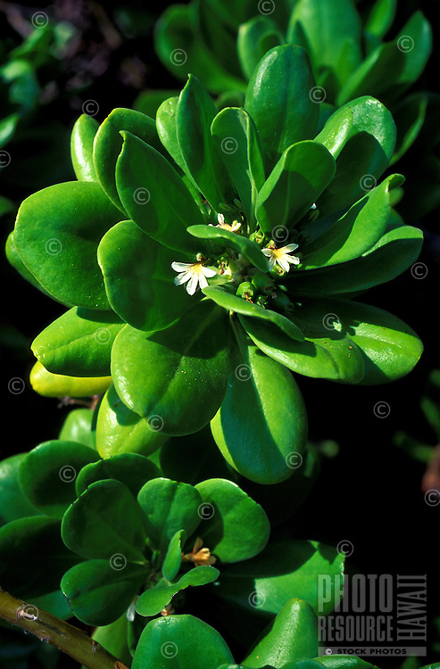 Mountain naupaka (Scaevola gaudichaudiana) is a dense shrub, a native Hawaiian plant