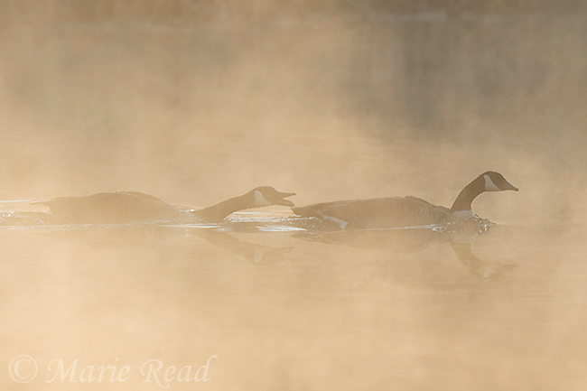 Canada Goose (Branta canadensis), pair on misty morning in spring, New York, USA
