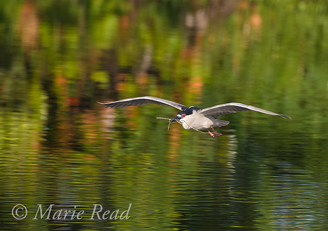 Black-crowned Night-Heron (Nycticorax nycticorax) in flight over water, carrying nest material, Venice, Florida, USA