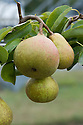 Pear 'Onward', mid August. A cross between 'Doyenné du Comice' and 'Laxton's Superb'. It shares the same excellent flavour. Easy to grow, reliable, and heavy cropping. Good for the average-sized garden. Keeps poorly so should be eaten soon after picking.