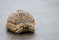 Every time I see a leopard tortoise near the road, I see a leopard soon thereafter.