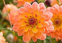 Dahlia close-up, Washington