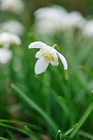 Galanthus 'Lady Elphinstone'
