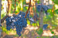 Ripe bunches of  Merlot grapes at Chateau la Grave Figeac, Saint Emilion, Bordeaux - Chateau La Grave Figeac, Saint Emilion, Bordeaux