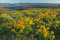 Spring wildflowers above the Columbia River, Oregon