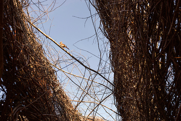 "May 8, 2015. Chapel Hill, North Carolina.<br />  A bird enjoys local sculptor Patrick Dougherty's work ""Homegrown"" which is installed in the main yard of the North Carolina Botanical Gardens. The North Carolina Botanical Gardens encompass acres of plant habitats native to the state, as well nature trails for walking and recreation. <br />  Outsiders tend to lump Chapel Hill with nearby Durham, but the more sensible pairing is with Carrboro, the adjacent town that was once a mere offshoot known as West End. Even today the transition from Chapel Hill, anchored by North Carolina''s flagship public university, into downtown Carrboro is virtually seamless."