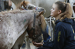 Foto: VidiPhoto<br /> <br /> BEMMEL – De grootste ponymarkt van Nederland had maandag een enorme domper te verwerken. Terwijl de laatste jaren weer een stijging te zien was in het aantal aangevoerde paarden, kreeg de Bemmelse ponymarkt nog maar de helft van de aanvoer van 2018. Door, volgens marktvoorzitter Cor Grasmijer, onverklaarbare oorzaak werden er slechts 300 pony's en paarden aangevoerd. Dat is zelfs minder dan tijdens de economische recessie en het absolute dieptepunt van 2016, toen er zo'n 500 dieren werden aangeboden. Des te opmerkelijker was dat er juist meer gehandeld werd dan in andere jaren. Bemmel is van oudsher de grootste ponymarkt van ons land, hoewel er inmiddels ook veel paarden worden aangevoerd. Van de paardenmarkten in ons land is Bemmel na Zuid-Laren, Hedel en Elst de vierde in grootte. Kenners veronderstellen dat handelaren hun paarden 'bewaren' voor de grotere markten in afwachting van nog hogere prijzen.