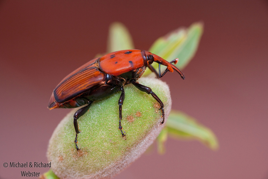 This beetle is an invasive pest and causes worldwide damage to Palm trees.