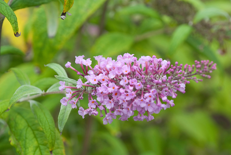 Butterfly Bush Pink Delight
