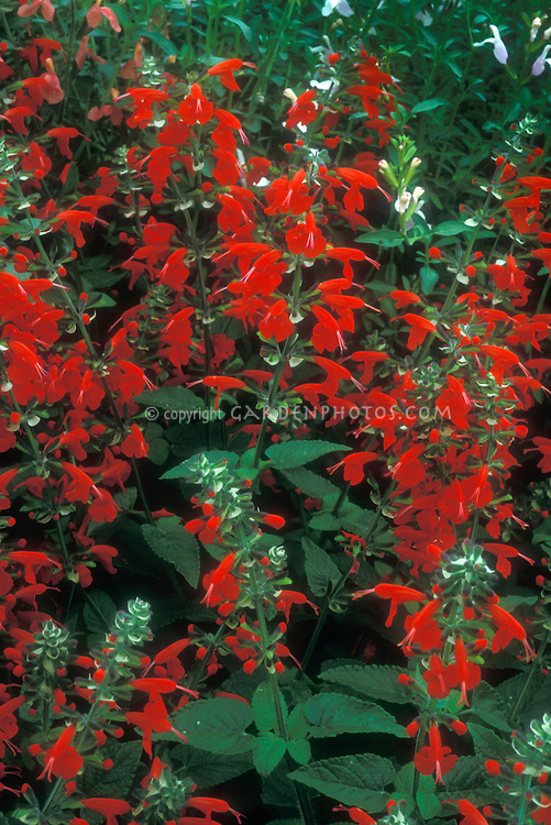 Salvia coccinea 'Lady in Red' in bloom