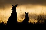 Eastern Grey Kangaroo (Macropus giganteus) mother and joey at sunrise, Mount Taylor Nature Reserve, Canberra, Australian Capital Territory, Australia