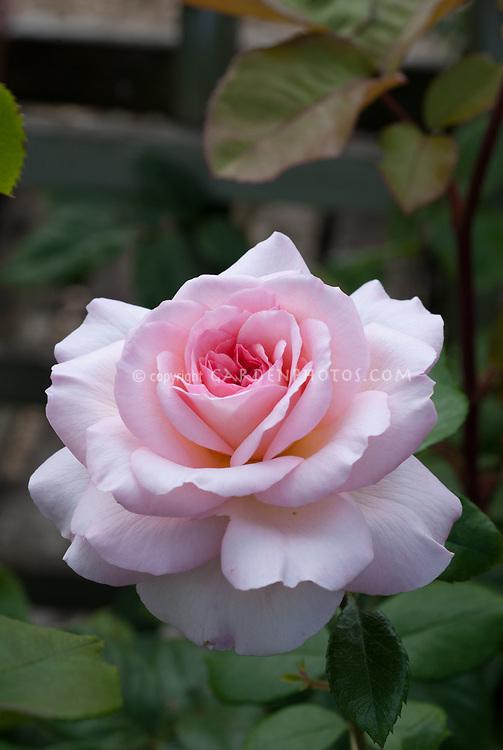 Rosa Queen Elizabeth pink roses, floribunda