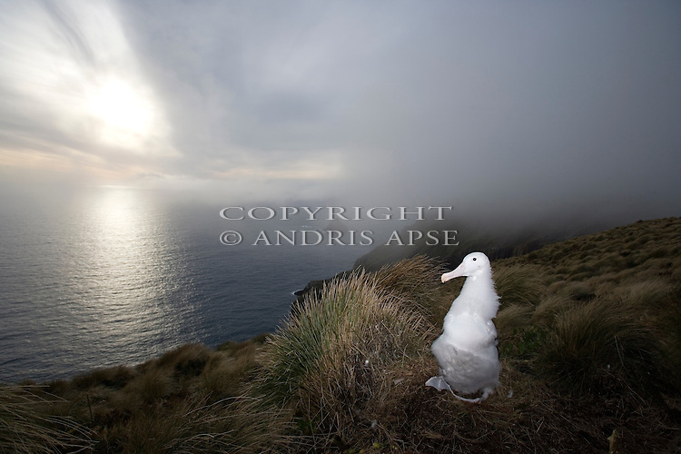 Southern Royal Albatross chick on nest. Campbell Island. New Zealand Sub Antarctic Islands.