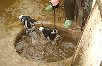 Dipping two Swaledale ewes in a circular dip, Hawes, North Yorkshire.....Copyright..John Eveson,.Dinkling Green Farm,.Whitewell,.Clitheroe,.Lancashire..BB7 3BN.Tel. 01995 61280.Mobile 07973 482705.j.r.eveson@btinternet.com.www.johneveson.com