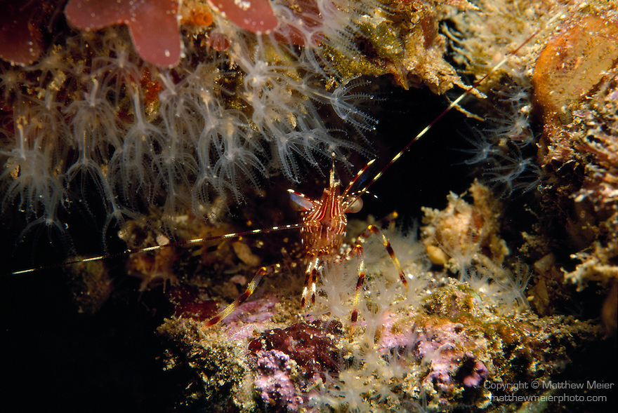 Santa Cruz Island, Channel Islands National Park & National Marine Sanctuary, Channel Islands, California; a Coonstripe Shrimp sits at the opening to a crevice in the rocky reef , Copyright © Matthew Meier, matthewmeierphoto.com All Rights Reserved