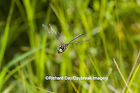 06544-00418 Hine's Emerald (Somatochlora hineana) male in flight Kay Branch Fen Reynolds Co. MO