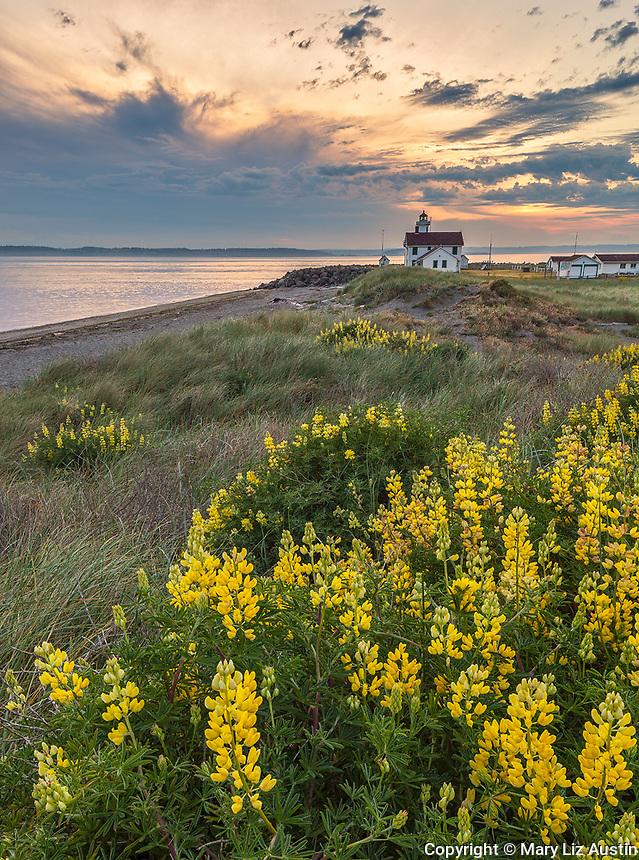 Jefferson County, WA: Flowering yellow bush lupine (Lupinus arboreus) at Point Wilson Lighthouse at sunrise, Fort Worden State Park