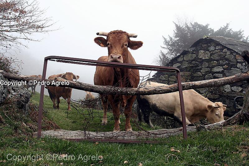 Vacas en un prado, y cierre casero.