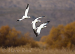 Snow Geese (Chen caerulescens), three adult white form, in flight in autumn, Bosque Del Apache National Wildlife Refuge, New Mexico, USA
