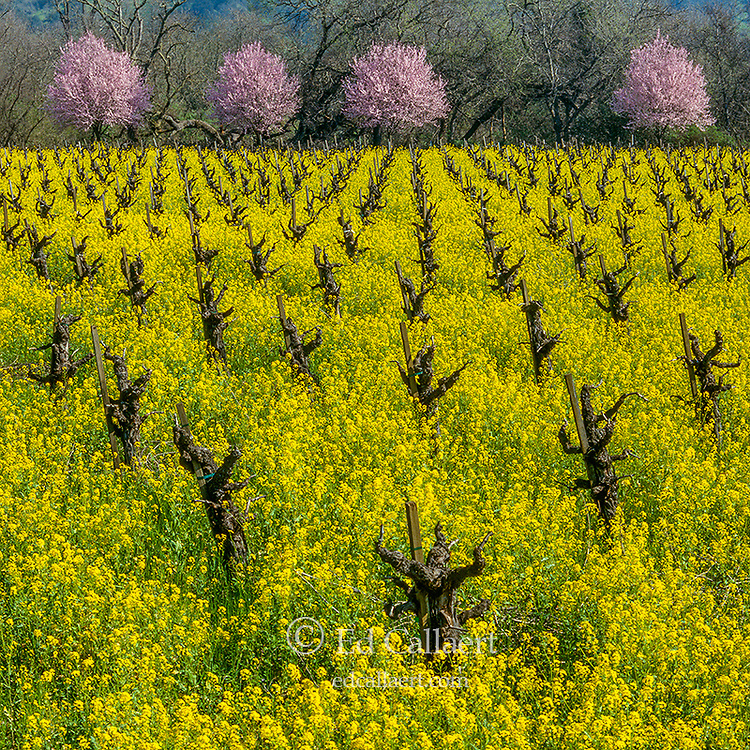Mustard, Plum Blossoms, Napa Valley, California