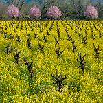 Mustard, Plum Blossoms, Napa Valley, California