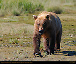 Alaskan Coastal Brown Bear Closeup, Silver Salmon Creek, Lake Clark National Park, Alaska