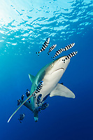 oceanic whitetip shark, Carcharhinus longimanus, with pilot fish, Naucrates ductor,  Daedalus Reef, Egypt, Red Sea, Indian Ocean
