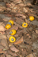 Yellow Cashew Apples and Nuts Lying on the Ground, near Sokone, Senegal.  Apples must be allowed to fall and should not be picked from the trees, but must be collected quickly once they are on the ground.