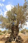 Israel, Carmel, Olive tree in Nahal Neder