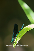 06014-00311 Ebony Jewelwing (Calopteryx maculata) male Washington Co. MO