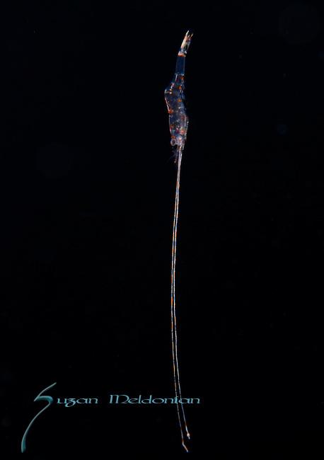 Shrimp long antenna