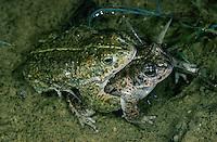 Kreuzkröte, Paarung, Kreuz-Kröte, Kröte, Bufo calamita, Epidalea calamita, natterjack toad, pairing, Natterjack, Crapaud calamite
