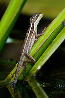 Brown or Striped Basilisk (Basiliscus vittatus), Bocas del Toro, Colon Island, Panama