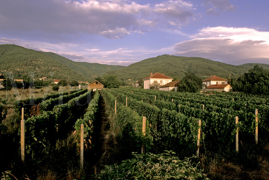 Vineyards and rows of grapes near Skopje Macedonia