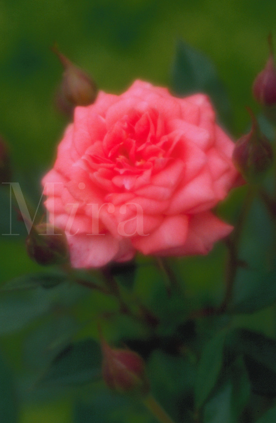 A pink rose flower.