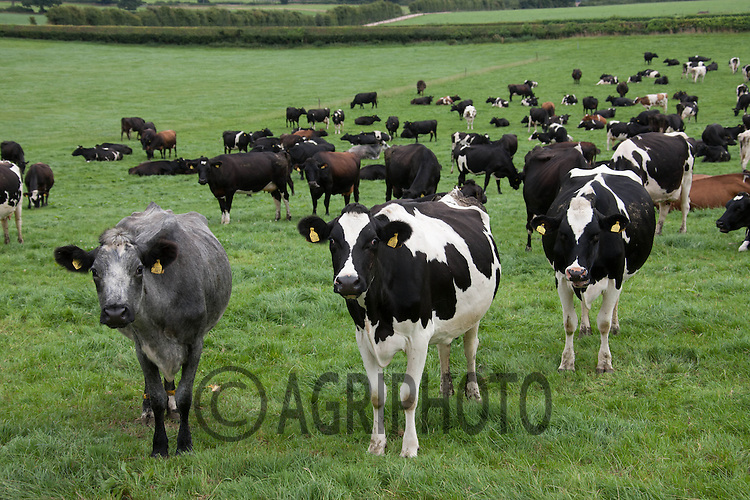 Crossbred Dairy cows strip grazing in a New Zealand Style system Staffordshire,UK<br /> <br /> Picture Tim Scrivener 07850 303986
